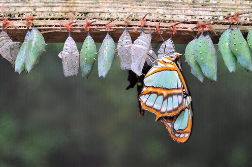 A series of butterfly cocoons in various stages of development
